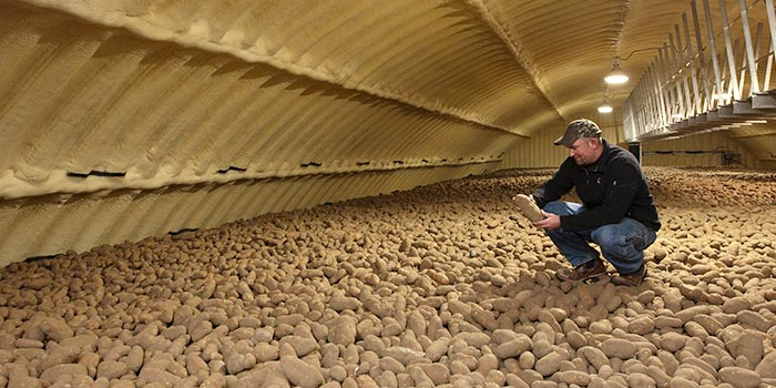 Man holding a potato in a potato storage structure