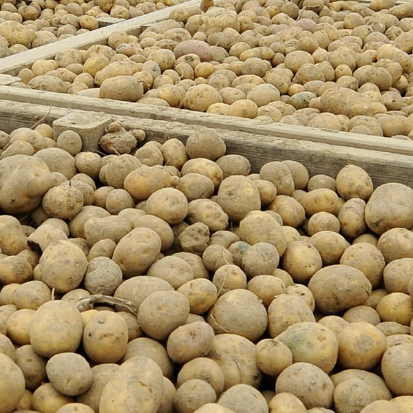 Tsunami fungicide applied to harvested potatoes