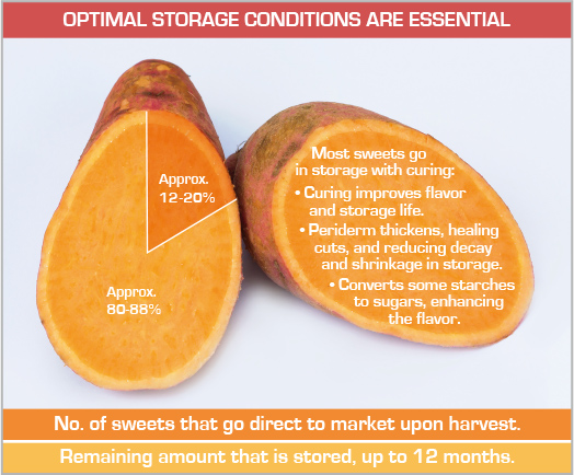 Optimal sweet potato storage conditions are essential. Approximately 12-20% of sweet potatoes go direct to market upon harvest. The other 80-88% are stored up to 12 months.