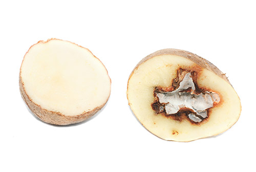 example of common potato disease dry rot