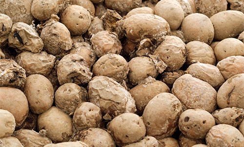 Soft rot disease present in potato storage