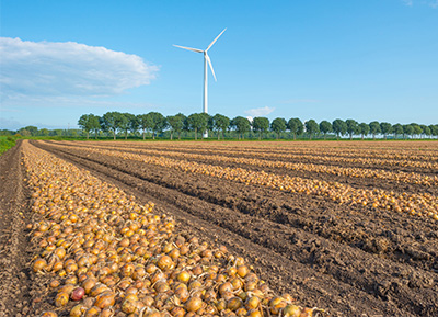 Onions drying in a field before being moved to storage
